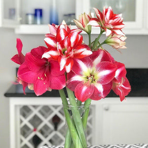 Multiple Amaryllis Bulb Mix