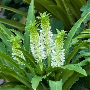 "Tropical Blooms of the ""Maui"" Pineapple Lily"