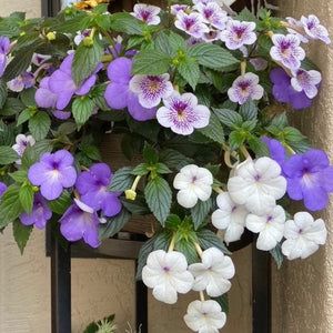 Achimenes Purple Paradise Mix