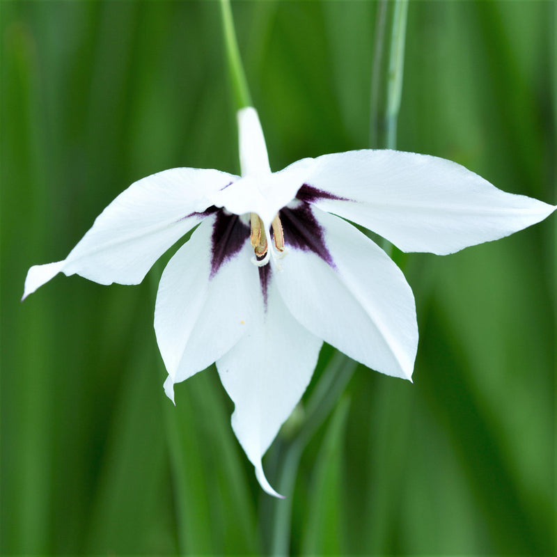 Acidanthera bicolor (Peacock Orchid)