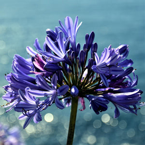 Single Agapanthus Back in Black Flower