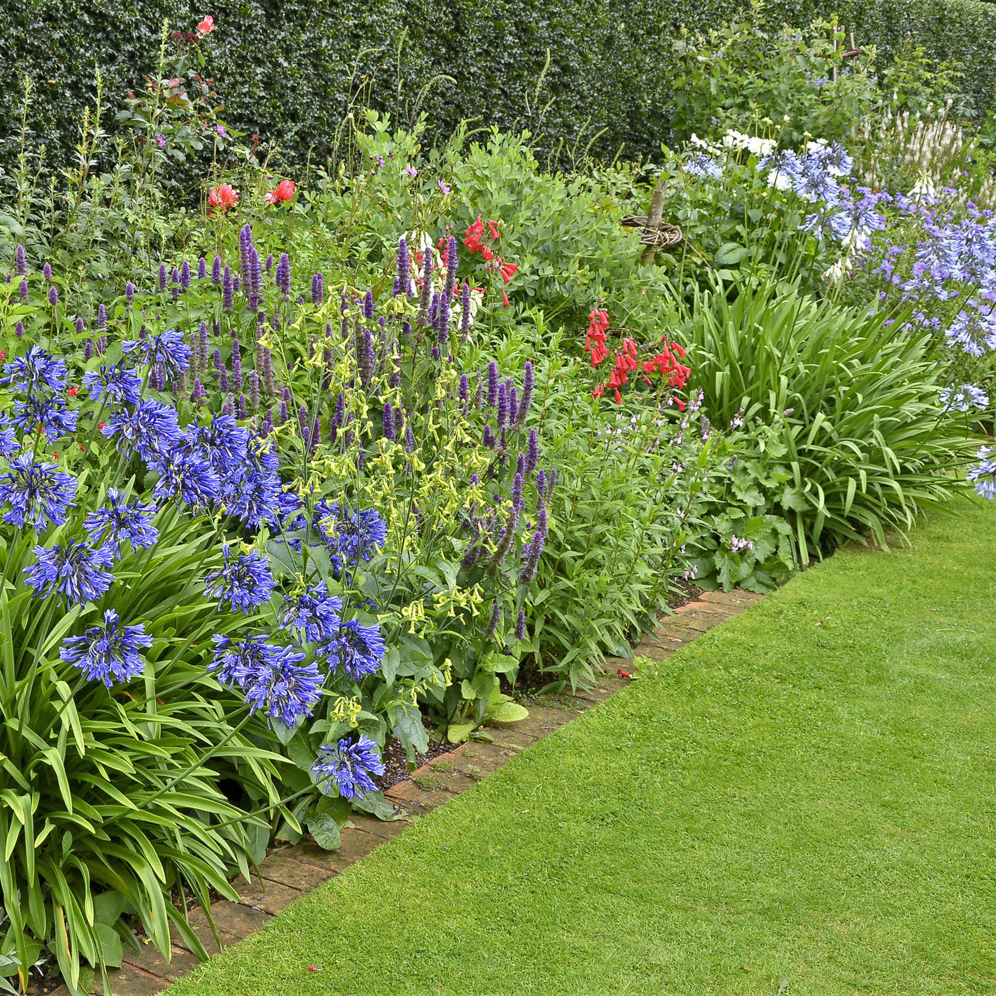 Agapanthus back in black blue lily of the nile bulb easy to grow agapanthus back in black izmirmasajfo