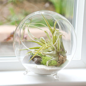 Air Plant Terrarium Kit for Sale