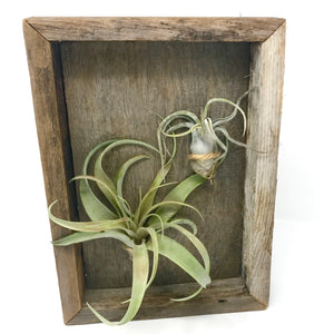 Tillandsia Air Plant Hanging Duo Framed Plaque - FREE Shipping!