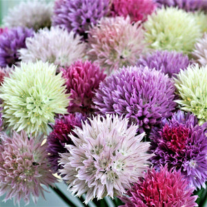 Allium Summer Sparkler Mix