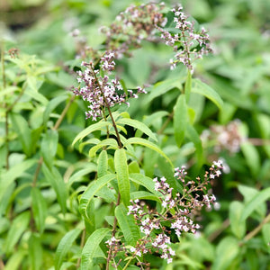products/Aloysia_Lemon_Verbena.ETGB.jpeg