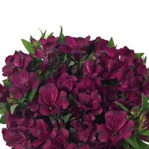 dark purple alstroemeria flowers