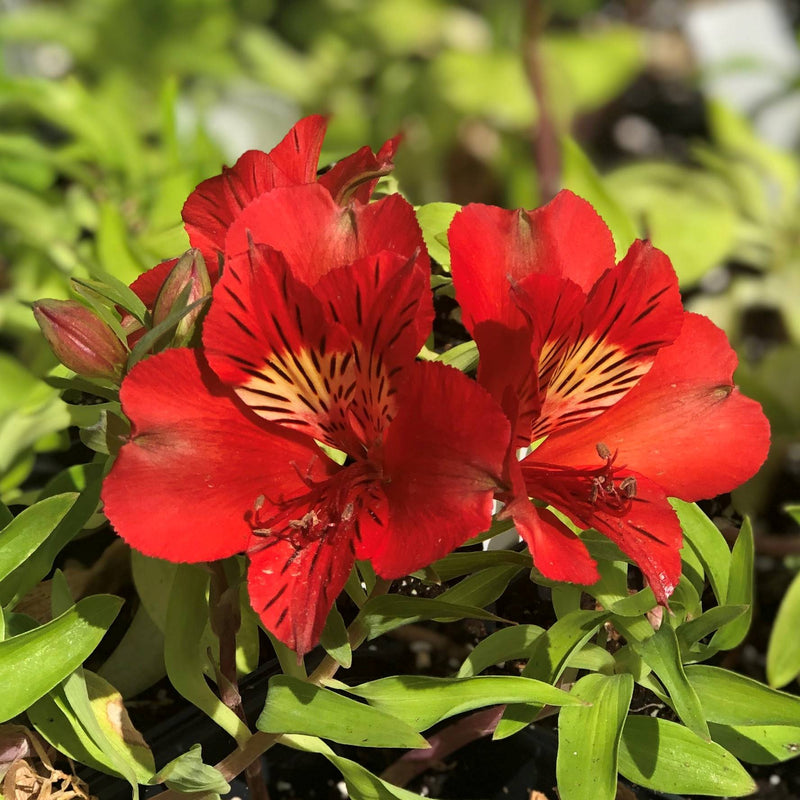 Alstroemeria Colorita 'Kate'