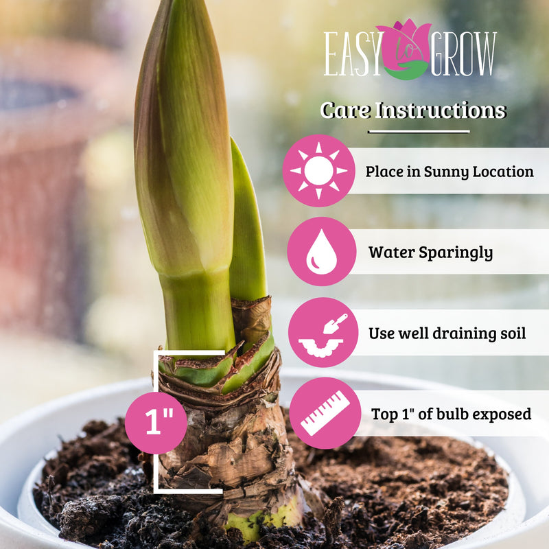 how to plant amaryllis