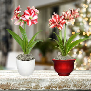 Amaryllis Exotic Peacock in a Round Pot - Free Shipping