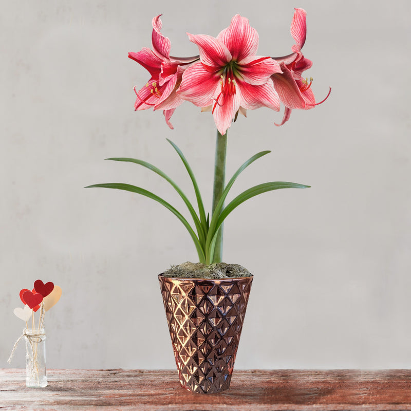 Amaryllis Gervase Gift in a Ceramic Pot