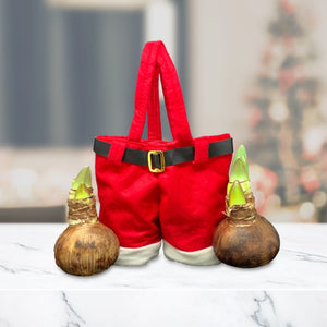 Santa Pants gift with regular amaryllis bulbs