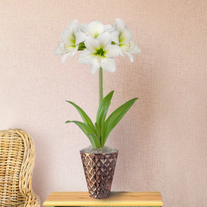 White Amaryllis Gift in a Rose Gold Vase - Free Shipping