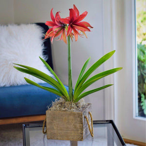 products/Amaryllis_Bogota_in_a_Reclaimed_Wood_Cube_Plain.ETGB.jpg