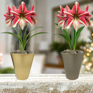 products/Amaryllis_Cherry_Crush__Gold-Pewter_Vase__Parent__SHUT.DD_3.jpg
