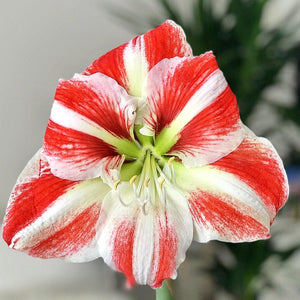 Amaryllis Clown