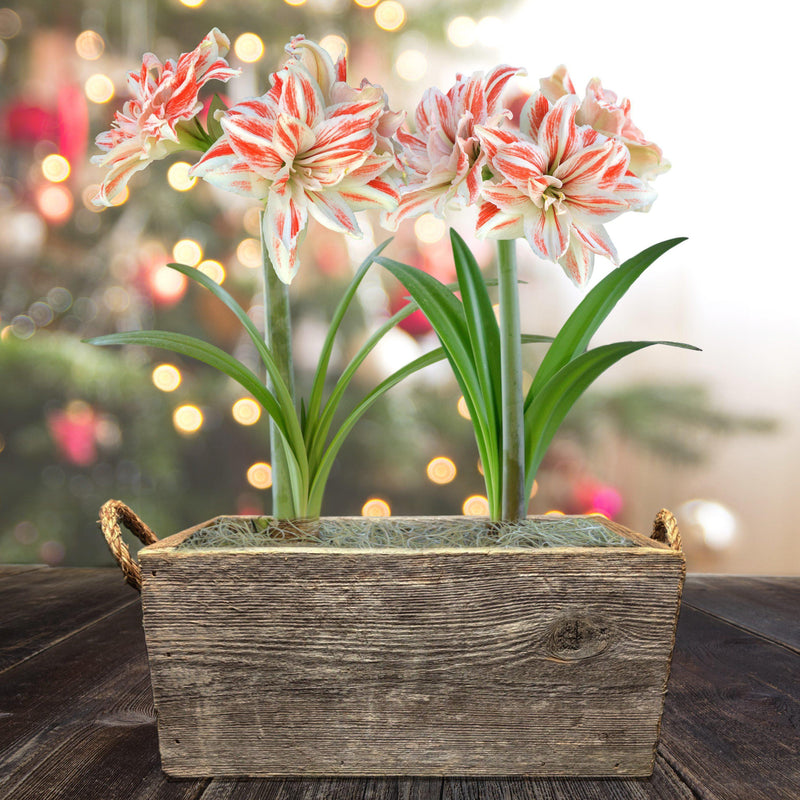 Amaryllis Dancing Queen Gift Duo in a Reclaimed Wood Planter - Free Shipping
