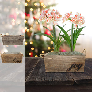 products/Amaryllis_Dancing_Queen__Wood_Planter__Parent.DD.jpg