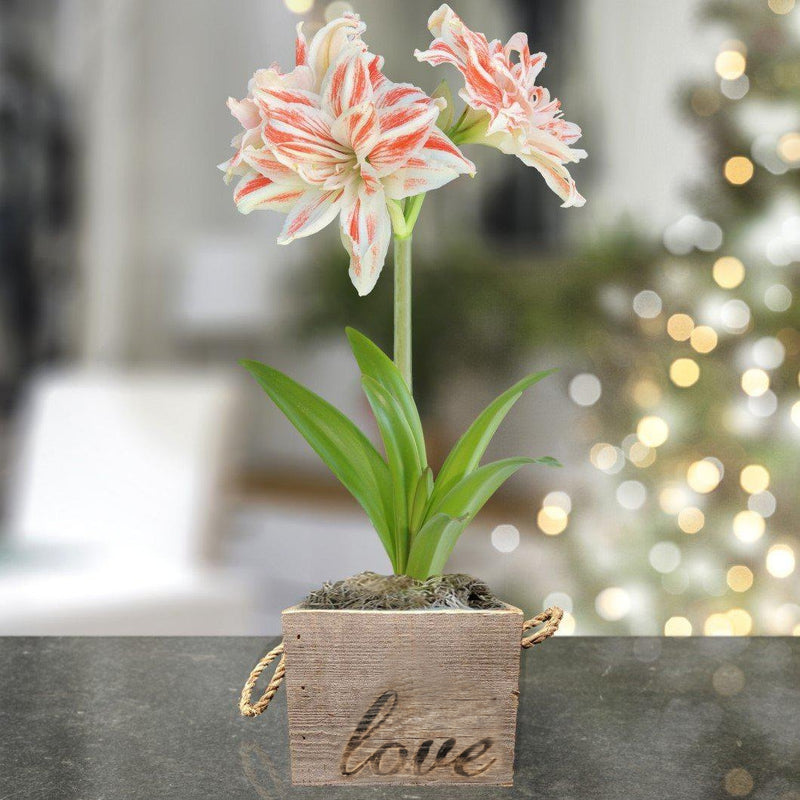 Amaryllis Dancing Queen Gift in a Reclaimed Wood Cube - Free Shipping