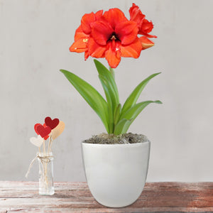 Amaryllis Desire Gift in a Ceramic Pot - Free Shipping