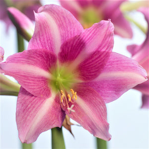 products/Amaryllis_Estella.IBULB.jpg