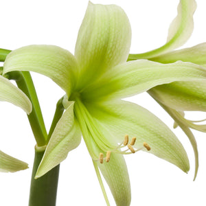 Amaryllis Evergreen
