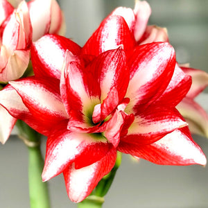 products/Amaryllis_Exotic_Peacock.ETGB.jpg