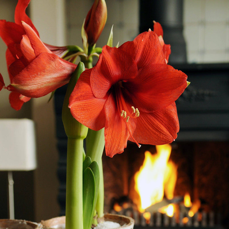 blooming red amaryllis