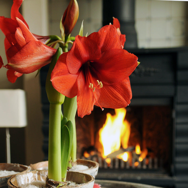 Amaryllis Ferrari Red Christmas Blooms