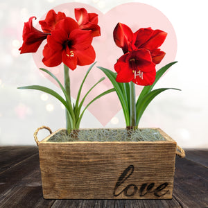 Amaryllis Ferrari Gift Duo in a Reclaimed Wood Planter