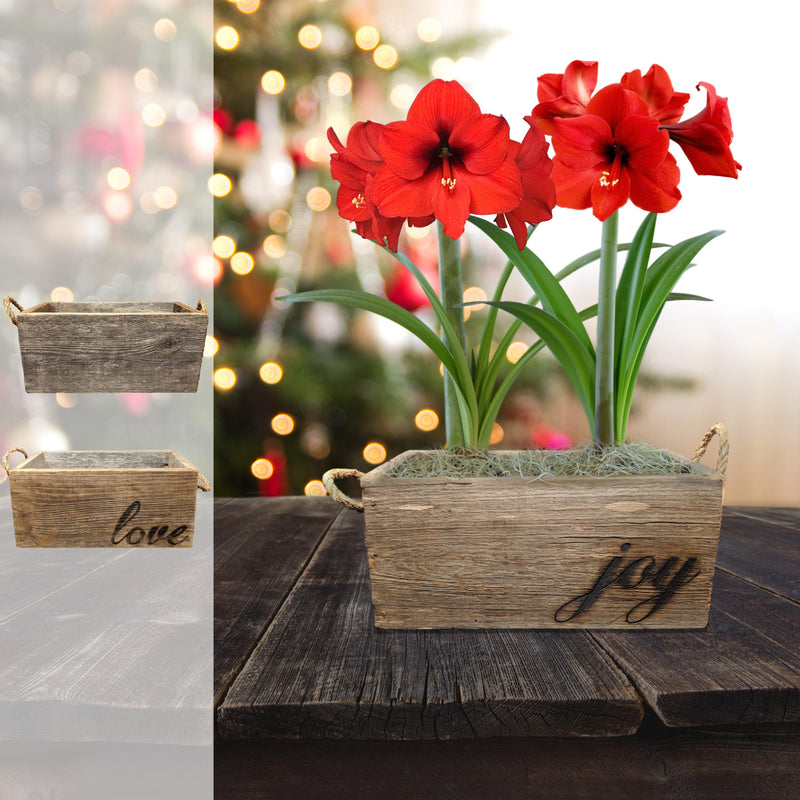 Amaryllis Ferrari Gift Duo in a Reclaimed Wood Planter - Free Shipping
