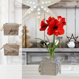 products/Amaryllis_Ferrari__Wood_Square_Parent__SHUT.DD.jpg