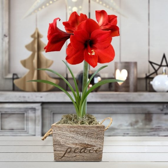 Amaryllis Ferrari Gift in a Reclaimed Wood Cube - Free Shipping