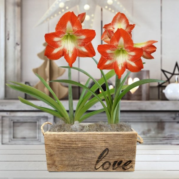Amaryllis Minerva Gift Duo in a Reclaimed Wood Planter - Free Shipping