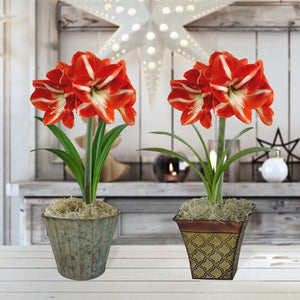 Amaryllis Minerva Gift in a Tin Planter - Free Shipping
