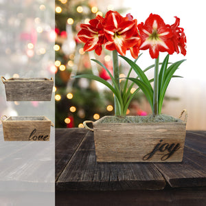 Amaryllis Minerva Gift Duo in a Reclaimed Wood Planter