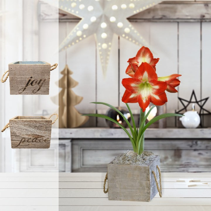 Amaryllis Minerva Gift in a Reclaimed Wood Cube - Free Shipping