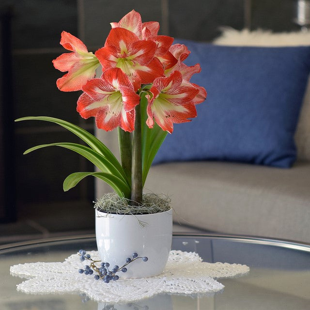 Amaryllis Minerva Gift in a Round Ceramic Planter - Free Shipping