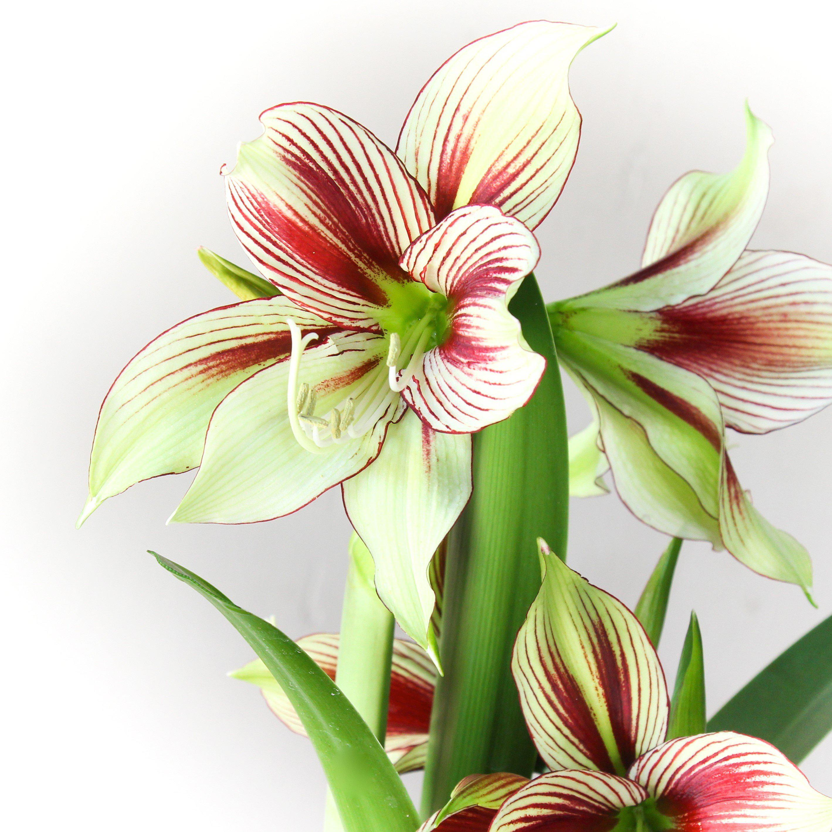 Soft Green Butterfly Amaryllis For Sale Online