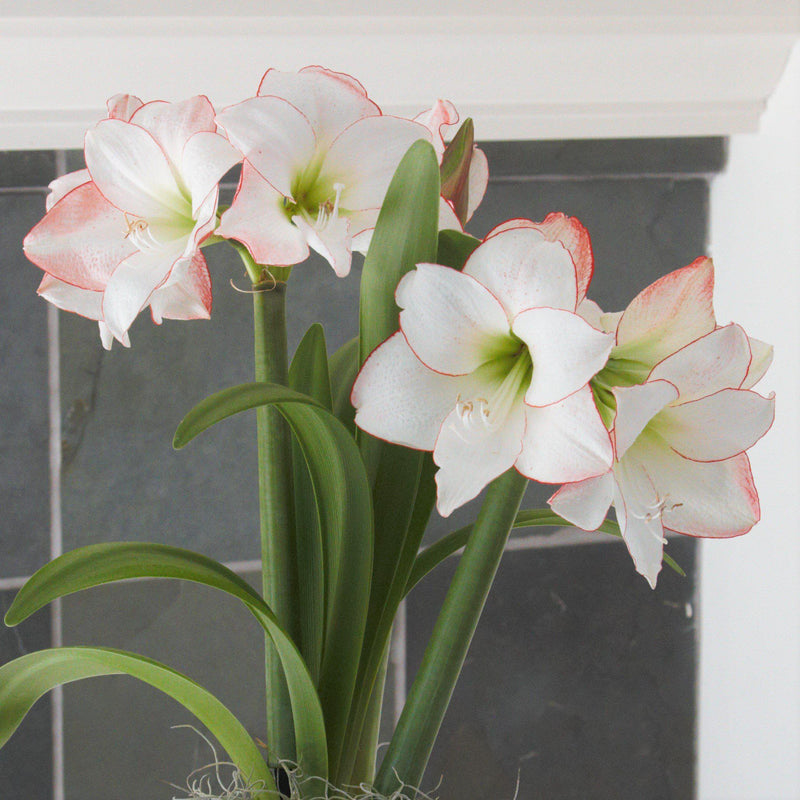 Flowers of Amaryllis Picotee
