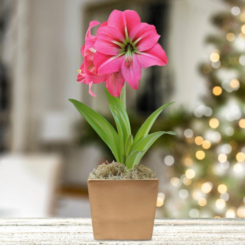 Amaryllis Pink Flush in a Square Ceramic Planter