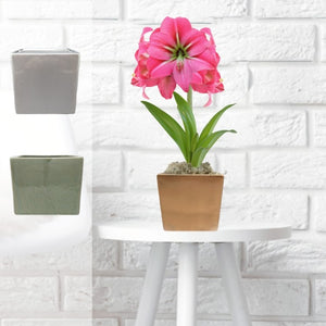 products/Amaryllis_Pink_Flush__Gold_Square__Parent-1__DD.SHUT.jpg