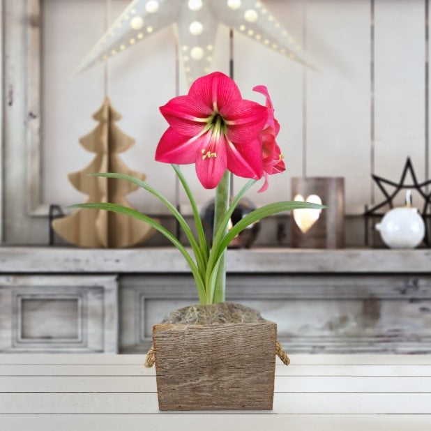 Amaryllis Pink Flush Gift in a Reclaimed Wood Cube - Free Shipping