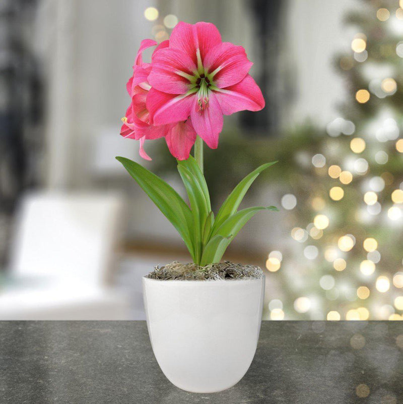 Amaryllis Pink Flush in a Round Ceramic Planter - Free Shipping