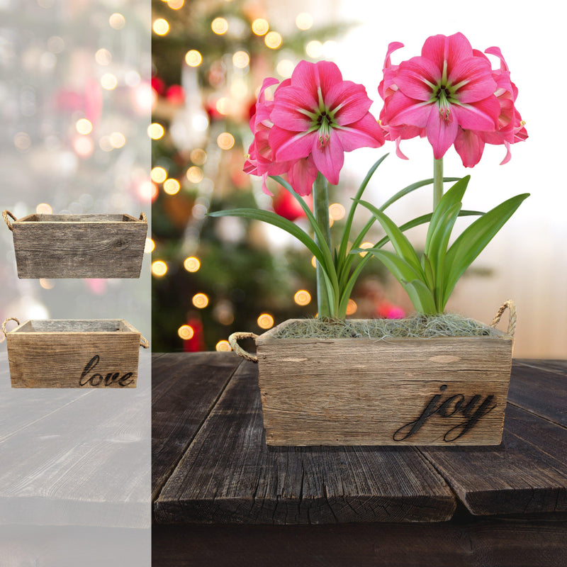 Amaryllis Pink Flush Gift Duo in a Reclaimed Wood Planter - Free Shipping