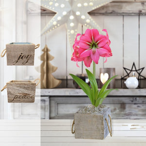 products/Amaryllis_Pink_Flush__Wood_Square__Parent__DD.SHUT.jpg