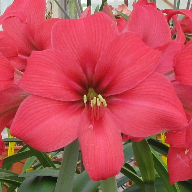 Amaryllis Pink Pizzazz Flowers