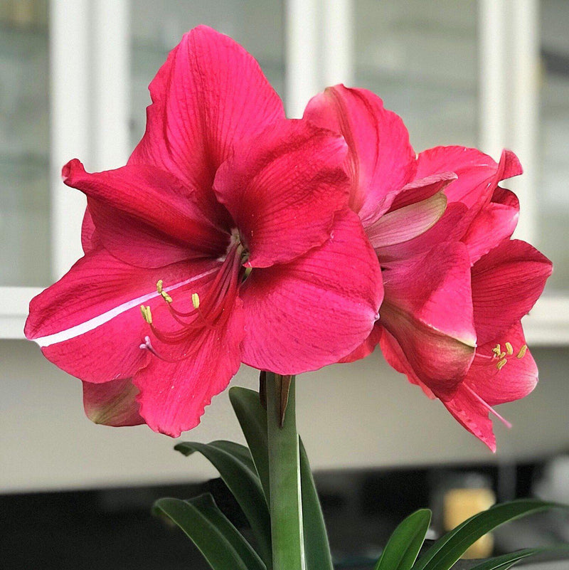 Multiple Flowers of Amaryllis Pink Surprise