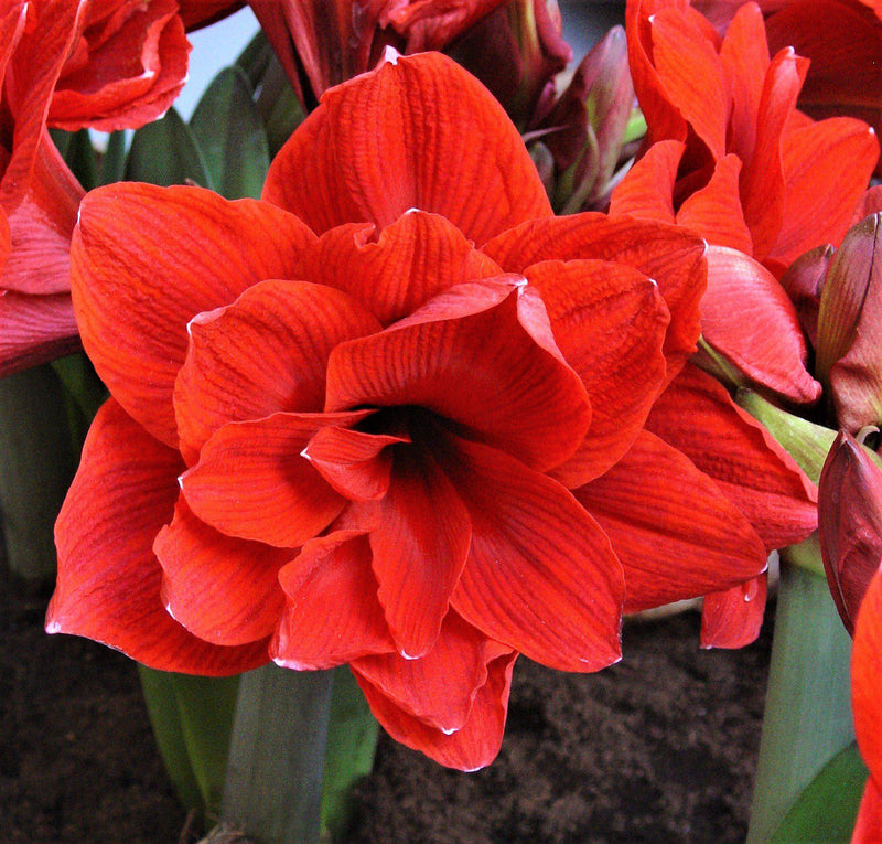 Amaryllis Red Peacock Front View