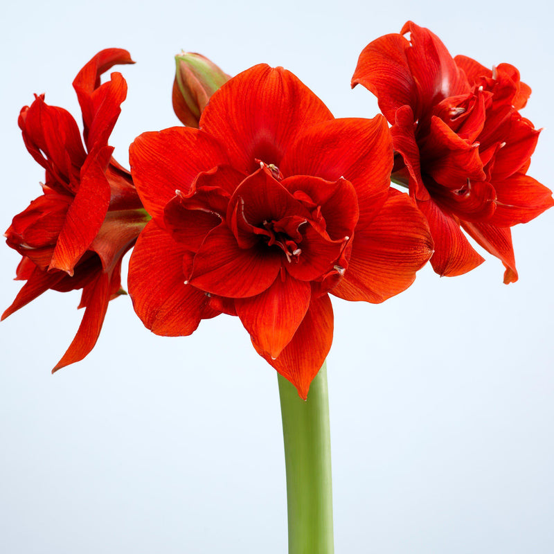 Amaryllis Red Peacock Bloom Stalk